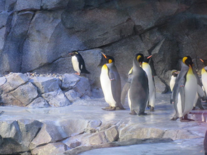 Detroit Zoo penguins ©WagonPilot