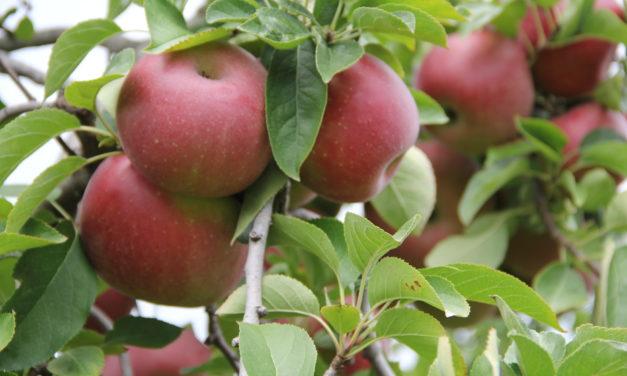 Apples Abound at Marietta's Hidden Hills Orchard