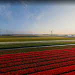 Virtual Excursion: Holland Tulip Farms