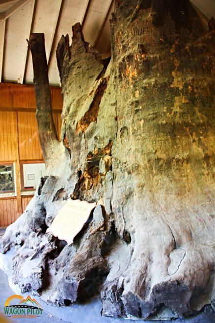 Sycamore stump in Kokomo, Indiana © Wagon Pilot Adventures